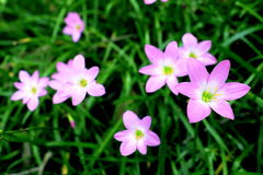 Rain Lilies flower. Royalty Free Stock Photos