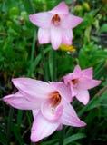 Rain Lilies. Lilies, garden, nature, pink Stock Images
