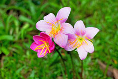 Rain lilly pink flower Royalty Free Stock Photography