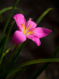 Rain Lily. (Fairy Lily, Fadjar's pink, Zephyranthes rosea) blooming in rainy season Royalty Free Stock Photos