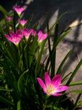 Rain Lily stock photos