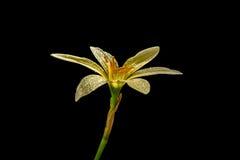 Rain lily Stock Photography