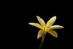Rain lily Stock Images