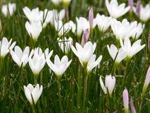 Rain lily field. Close up Royalty Free Stock Photos