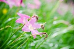 Rain lily flower Royalty Free Stock Photo