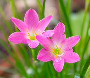 Rain lily flower Royalty Free Stock Photos