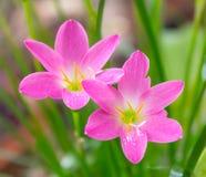 Rain lily flower Royalty Free Stock Photos