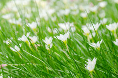 Rain lily flower Stock Photo