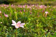 Rain Lily - 3 Stock Image