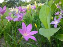 Rain lily Royalty Free Stock Photos