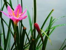 Rain lily Royalty Free Stock Photography