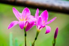 Rain lily Stock Image