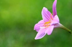 Rain Lily Soft focus Pink flowers blooming Stock Image