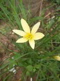 Rain lily. Yellow rain lily in gragen stock image