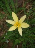 Rain lily. Yellow rain lily in gragen stock photos