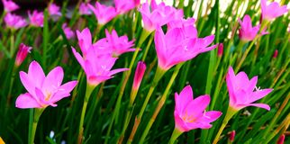 Rain Lily. Zephyranthes Lily, Rain Lily, Fairy Lily, Little Witches Royalty Free Stock Photos