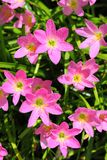 The Rain Lily or Zephyranthes spp. flower Royalty Free Stock Photography