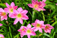 The Rain Lily or Zephyranthes spp. flower
