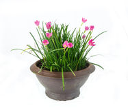 Rain Lily -Zephyranthes spp. flower in flower pot on white Royalty Free Stock Images