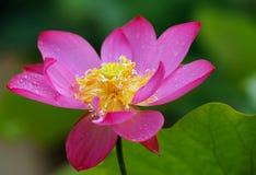 Rain lotus Stock Photo