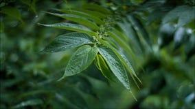 Rain Monsoon Leaf stock video footage