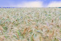 Rain mood over the field. Storm clouds over a wheat field Royalty Free Stock Photo