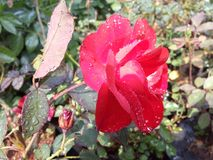 After the rain my garden flower. A beautiful garden .A flower is a special kind of plant part. Flowers are also called the bloom or blossom of a plant Stock Photo
