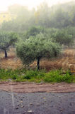 Rain on an olive grove Stock Images