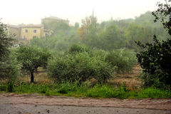 Rain on an olive grove Royalty Free Stock Image