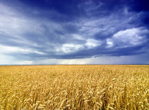 Rain over cornfield Royalty Free Stock Images