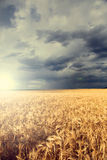 Rain over wheat field Stock Image