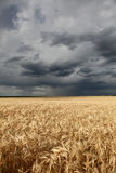 Rain over wheat field in retro style Stock Images