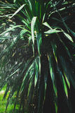 Rain in the palm grove Royalty Free Stock Photo