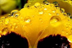 Rain on a Pansy Flower royalty free stock image