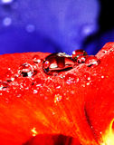 Rain on pansy petal. Rain drops on red pansy flower petal with blue petal background Stock Image