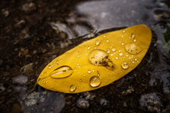 After the rain. Photograph of drops left on the leaf after the rain Stock Image