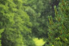 Rain and pine Royalty Free Stock Image