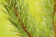 Rain on the pine Royalty Free Stock Photography