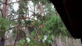 Rain in a pine forest stock video footage