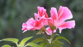 Rain.  Pink flower in the rain. Rain. Pink flower in the rain. Water drops on a flower. Fly is hiding under the petals of rain stock video