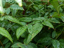 Green Bush Rain Droplets Royalty Free Stock Images