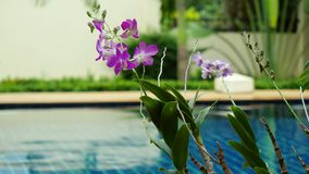 Rain in the pool against the foreground of a flower frangipani to changed focus to blurred. 3840x2160 stock video footage