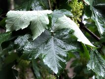 rain-pouring-on-large-leaf Royalty Free Stock Image