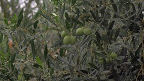 Wet olive tree under rain in garden. Rain pouring and watering olive tree in the garden. Pure drops on the branches and leaves stock video