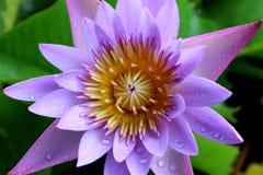 After rain purple lotus Stock Photos
