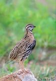 Rain Quail or Coturnix coromandelica. Rain Quail or Coturnix coromandelica, beautiful bird standing on a rock with green background stock photography
