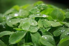 Rain on Quatrefoil on Sunset. On Spring in the Garden stock image