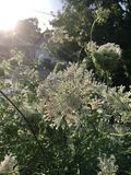 After the Rain: Queen Anne`s Lace backlit stock photo