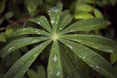 Rain Raindrops on a Marshmallow Root leaf Stock Photo