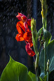 Rain & a Red Flower. Just a summer rain in the garden royalty free stock photos